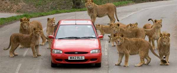 Car surrounded by lions